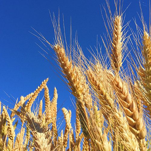Getreide Feuchtemessger/ät FSK