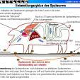 Entwicklungszyklus des Spulwurms