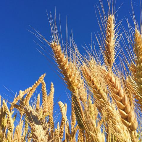 Getreide-Lagerung und Feuchtigkeitsmessung
