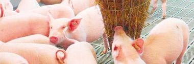 Natürliches Beschäftigungsmaterial für Schweine